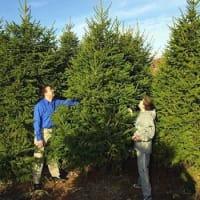 Christmas Tree Farm Battlesbridge Hawkwell Wickford Christmas Trees Decorations Yell