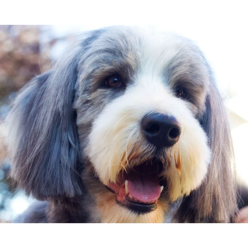 How To Keep A Bearded Collie S Coat Looking Good